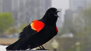415 Blackbirds Are Back 1400x2485